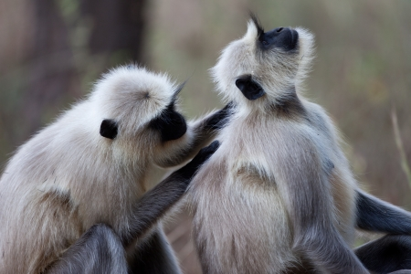 Common langur monkeys grooming