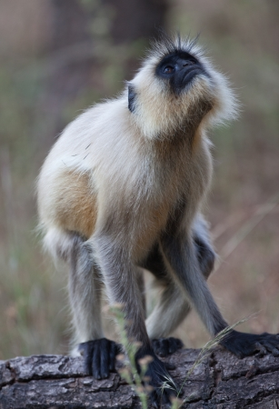 Common langur monkey in India