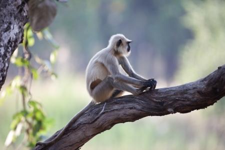 hanuman langur: Common langur monkey in India on a tree Stock Photo