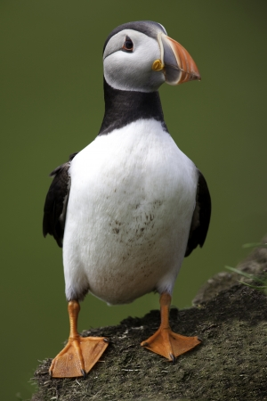 Puffin standing photo