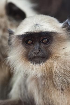 hanuman langur: Cute baby Langur monkey in India