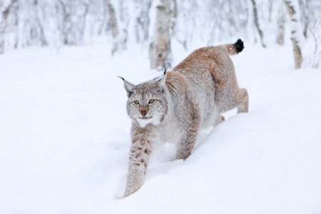 Lynx walking in snow Stock Photo