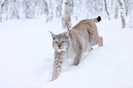 lynxs: Marche Lynx dans la neige
