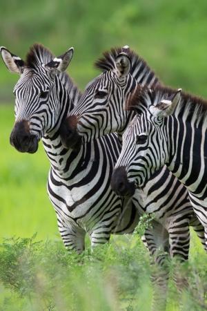 Zebra Beweidung Standard-Bild - 17220299