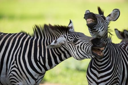 Zebras socialising  Stok Fotoğraf
