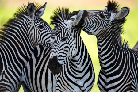 horse love horse kiss animal love: Zebras socialising and kissing Stock Photo