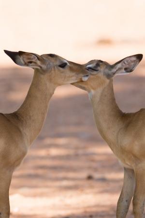 herd deer: Puku kissing