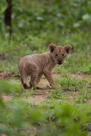 leon bebe: Bebé cachorro de león Foto de archivo