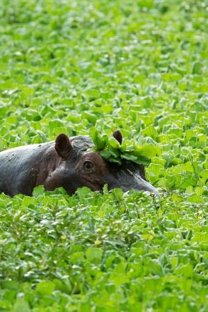chad: Hippopotamus in lillies