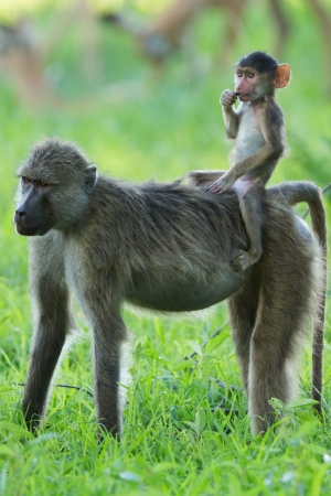 straddle: Baboon baby riding mother Stock Photo