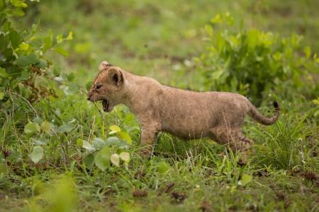 lion baby: Bambino cucciolo di leone in natura Archivio Fotografico