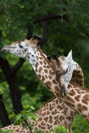 zimbabwe: Jirafas que muestren afecto
