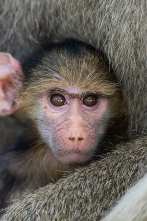 Yellow baboon baby photo