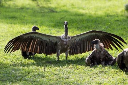 zimbabwe: Buitre despliega sus alas en África, Zambia Foto de archivo