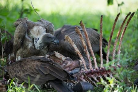 carcass: Gieren eten van een karkas, Afrika, Zambia Stockfoto