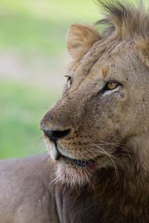 Lion on Safari, Africa, Zambia photo