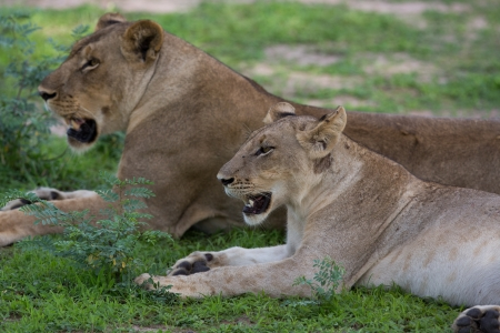 Lioness in the wild, Africa, Zambia Stock Photo - 17879975