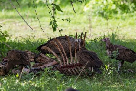 carcass: Gieren rond een karkas, Afrika