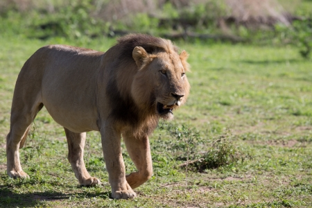 Lion on Safari, Africa, Zambia
