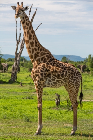chad: Giraffe in Africa Stock Photo