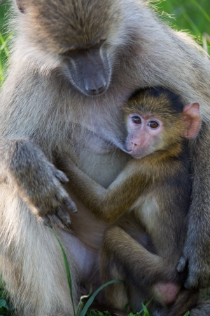 Baboon breast feeding Stock Photo - 17883402