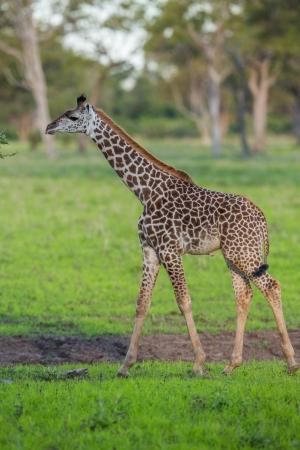 Baby calf giraffe in Africa photo