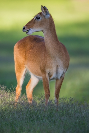 chad: Southern Reedbuck in Africa