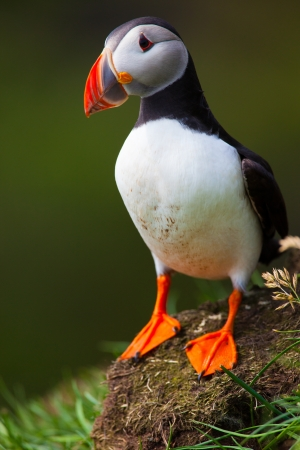 Atlantic Puffin standing in grass, Iceland Stock Photo