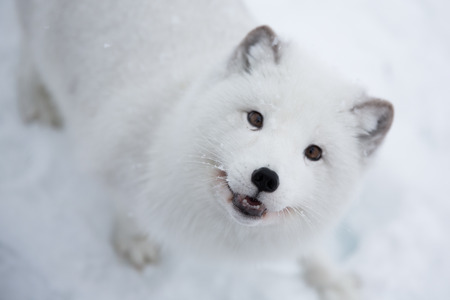 Arctic fox in snowy forest