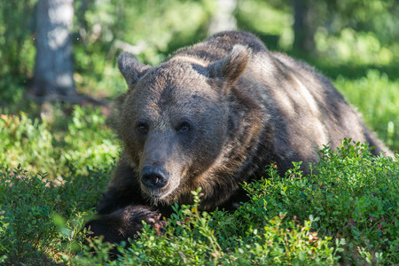 tiaga: Brown bear in Finland Forest Stock Photo