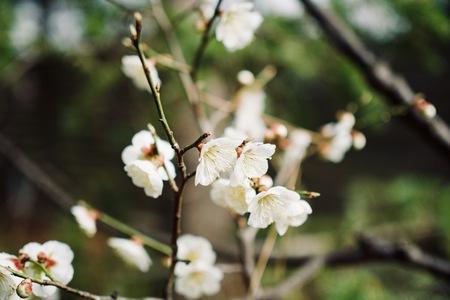 Cherry blossom landscape in Cheongju city, South Korea Stock Photo