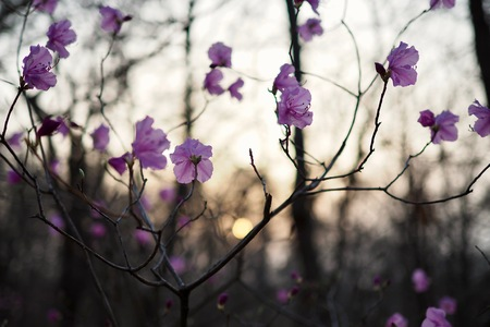 Korea Cheongju City, Wild azaleas in the forest and sunset Stock Photo