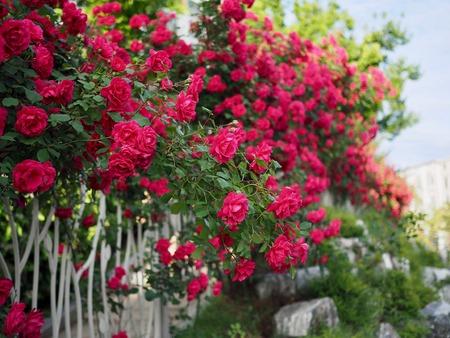 Red roses of May of Korea Cheongju city Stock Photo