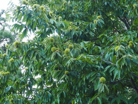 South Korea's chestnut tree Stockfoto