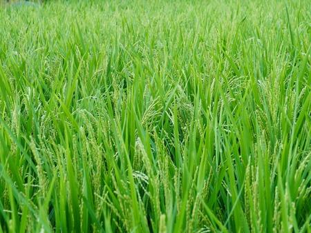 Landscape of rice fields in Cheongju, Korea