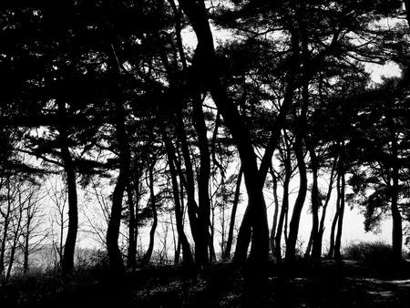 Paisaje de pinos de Corea, fotografía en blanco y negro Foto de archivo