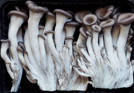 Fresh organic mushroom, Oyster mushroom