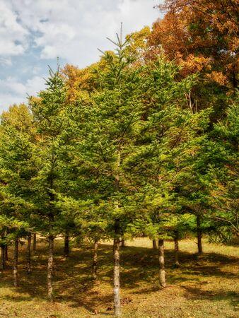 Autumn pine landscape in korea Foto de archivo - 129863828