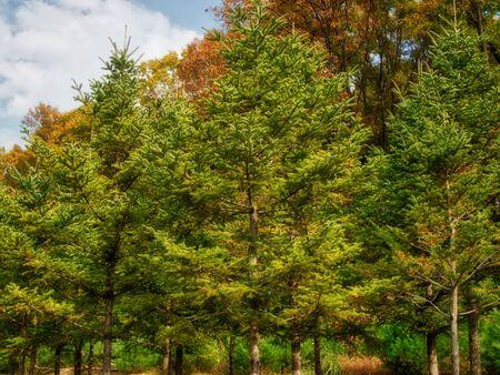 Autumn pine landscape in korea