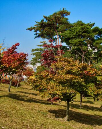 Maple trees in Korea Cheongju city
