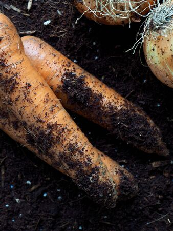 Fresh Organic Carrots and Onions