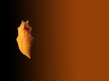 Cocoon of butterfly on brown degrade background