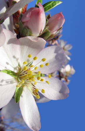 Buds and flower of almond in spring photo