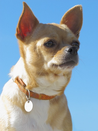 Chihuahua with collar on a blue background Stock Photo - 9156427
