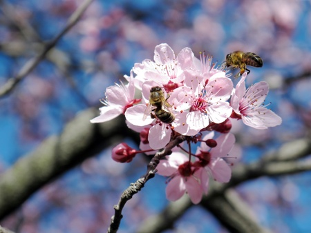 Two bees in a few flowers of pink color photo