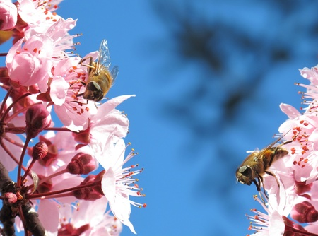 Two bees eating calm in a few flowers photo