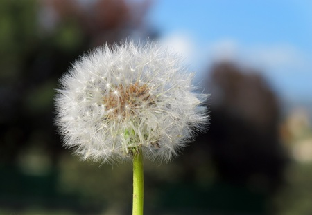 The foreground of a dandelion with blue background Stock Photo - 9331039