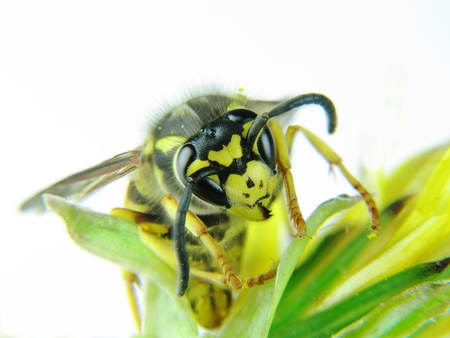 Yellow wasp on a few green leaves Stock Photo