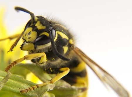 abdomen yellow jacket: Yellow wasp on a few flowers of colors Stock Photo