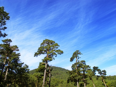pine forest with blue sky and clouds Stock Photo - 9377315